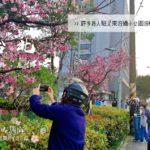 【台北 桜 スポット】台北 花見 に行きましょう!「士林 120号緑地 公園」