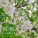 【 桃園 観光 】楊梅 中山南路:縦貫公道と湖口の境目で見られる美しい景色